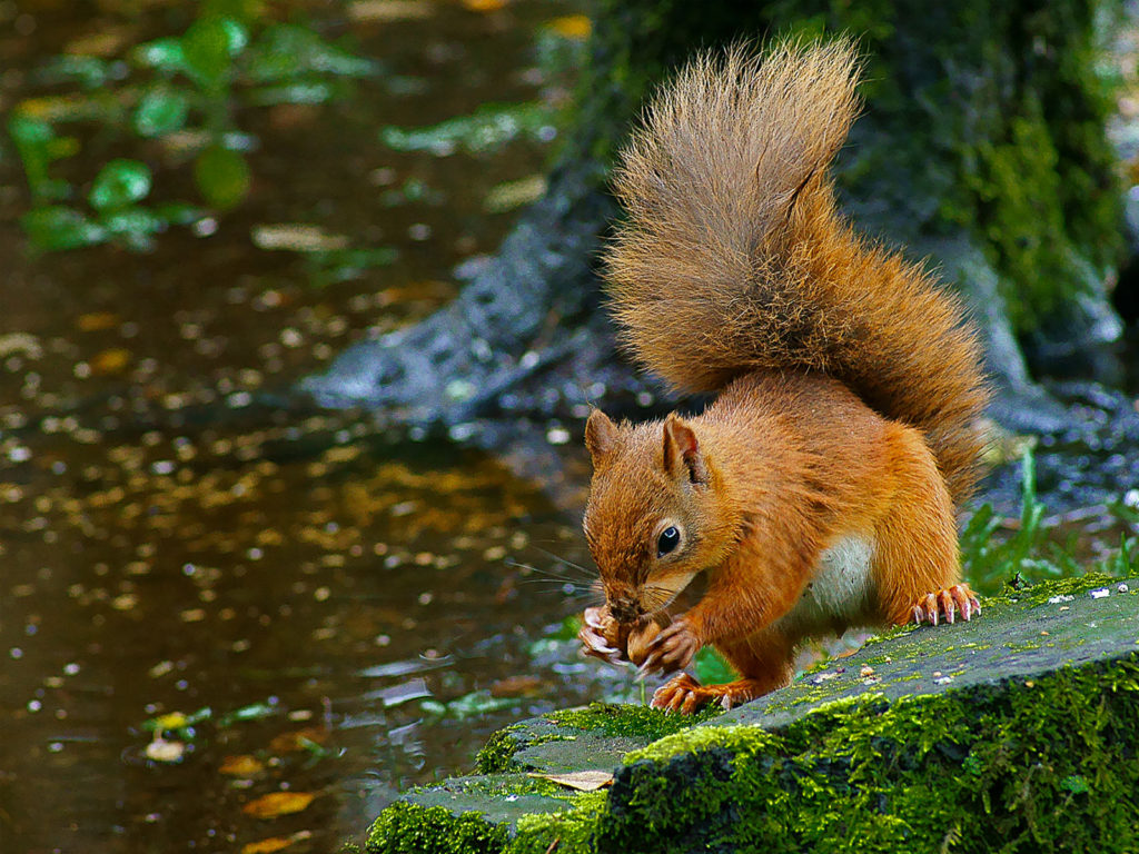 Red Squirrel by Chick Calder