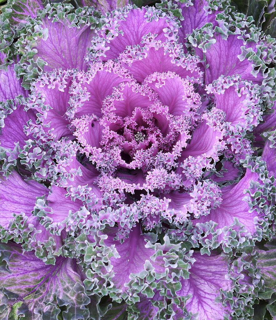 Al McOrist - Cabbage