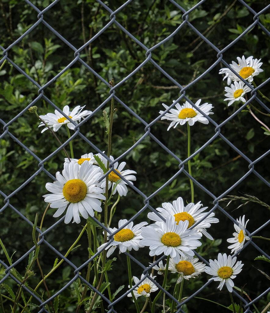 Al McOrist - Lockdown daisies
