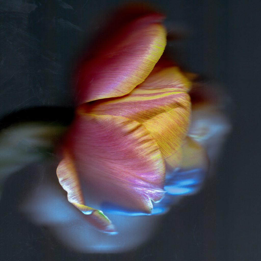 Alistair Cowan - 05 Tulip scan