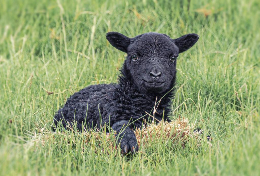 Alistair Cowan - New Lamb