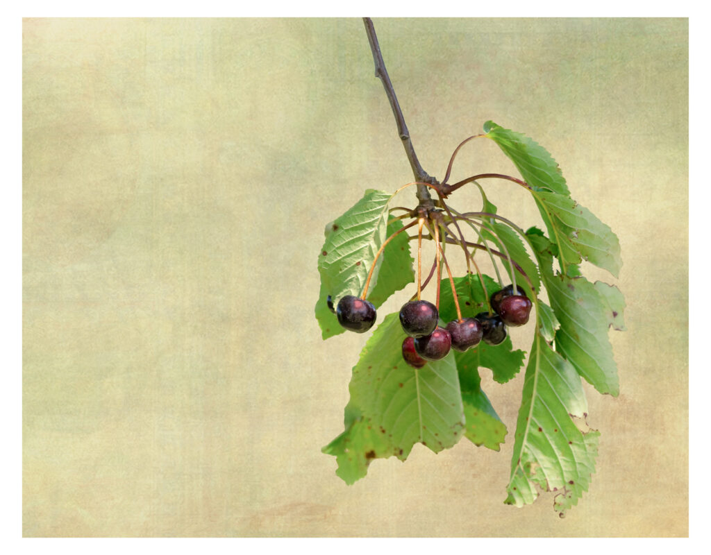 Alistair Cowan - Wild Cherries