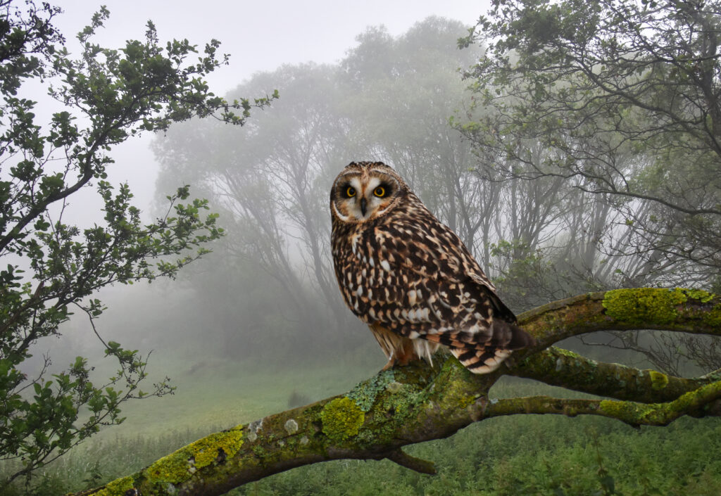 Andrew Mckie - 3 Short-eared Owl transposed to Holyrood park