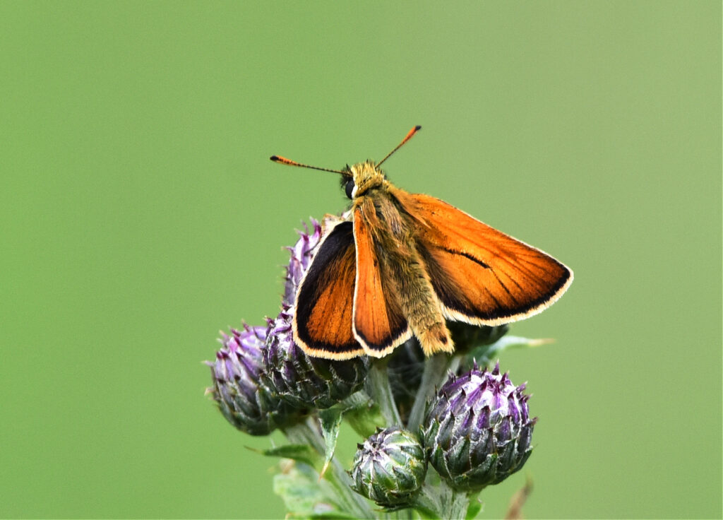 Andrew Mckie - 5 Small Skipper Holyrood park