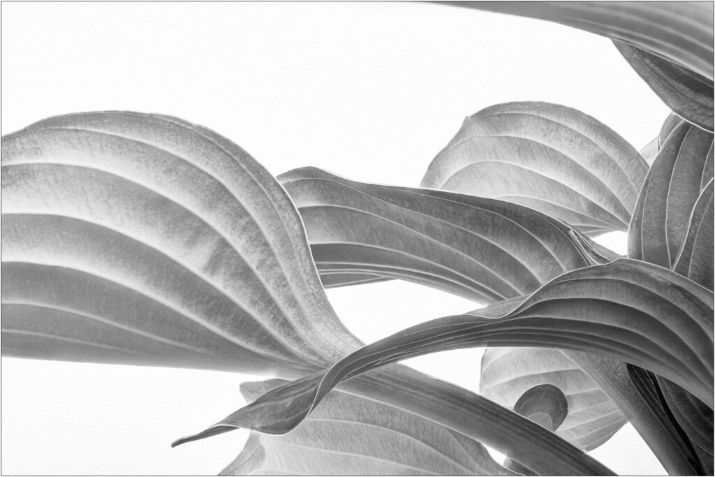 David Buchanan - 02_Untitled 2 (Hosta)