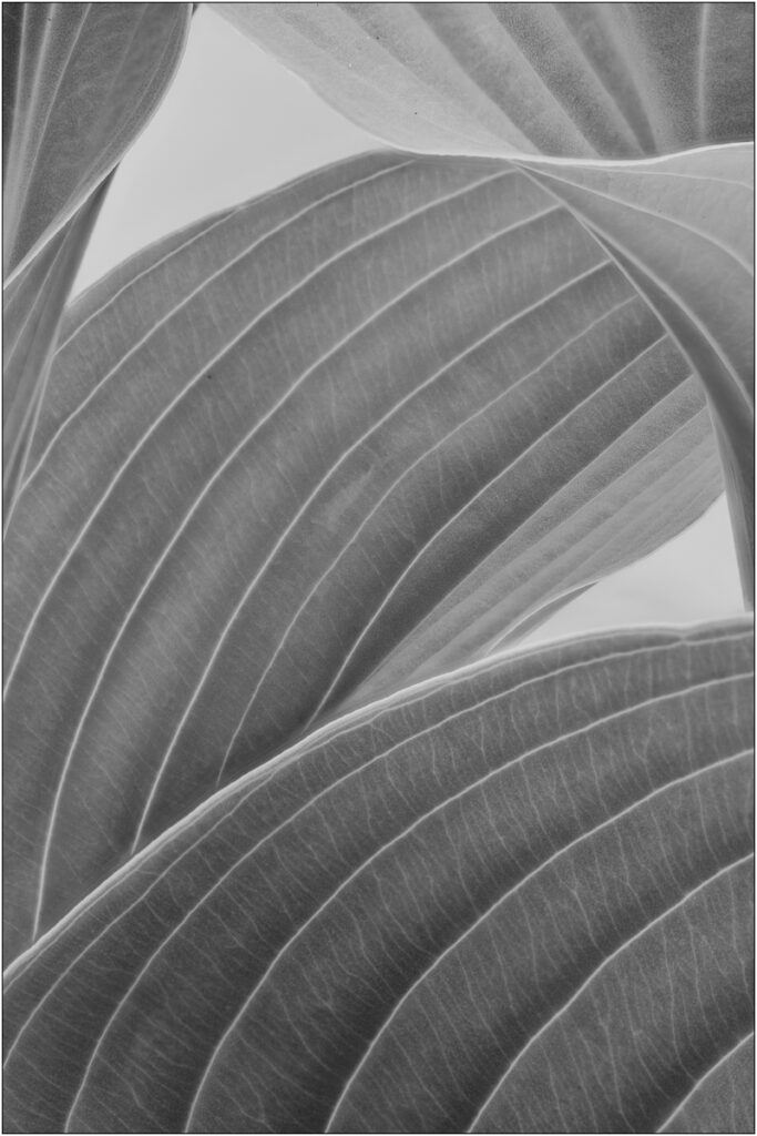 David Buchanan - 04_Untitled 4 (Hosta)
