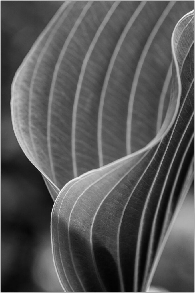 David Buchanan - 05_Untitled 5 (Hosta)