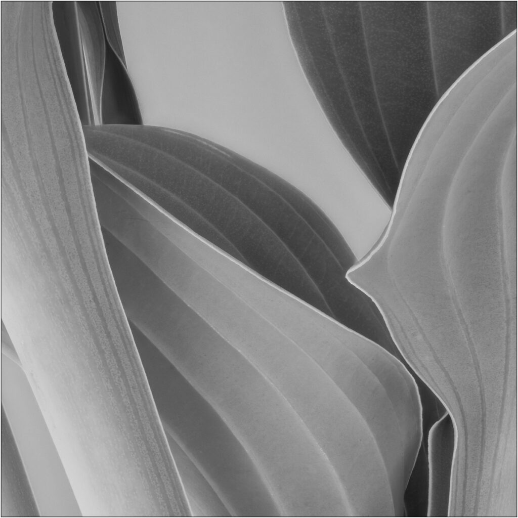David Buchanan - 06_Untitled 6 (Hosta)