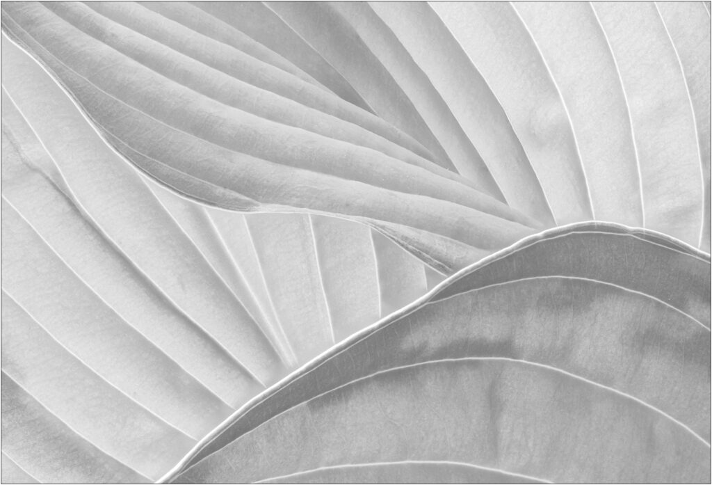 David Buchanan - 07_Untitled 7 (Hosta)