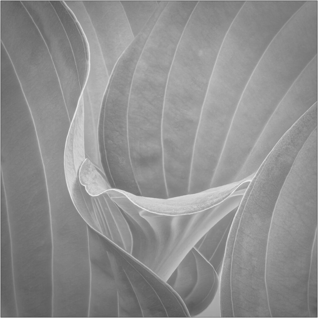 David Buchanan - 10_Untitled 10 (Hosta)