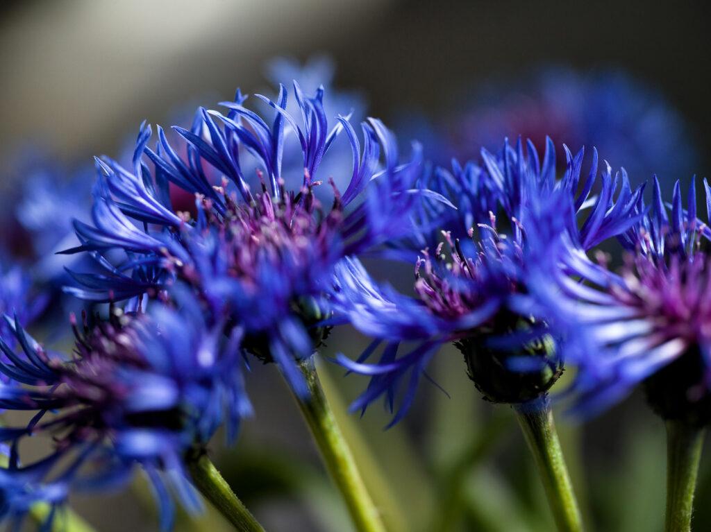 David Greer - Cornflowers_ (1 of 1)