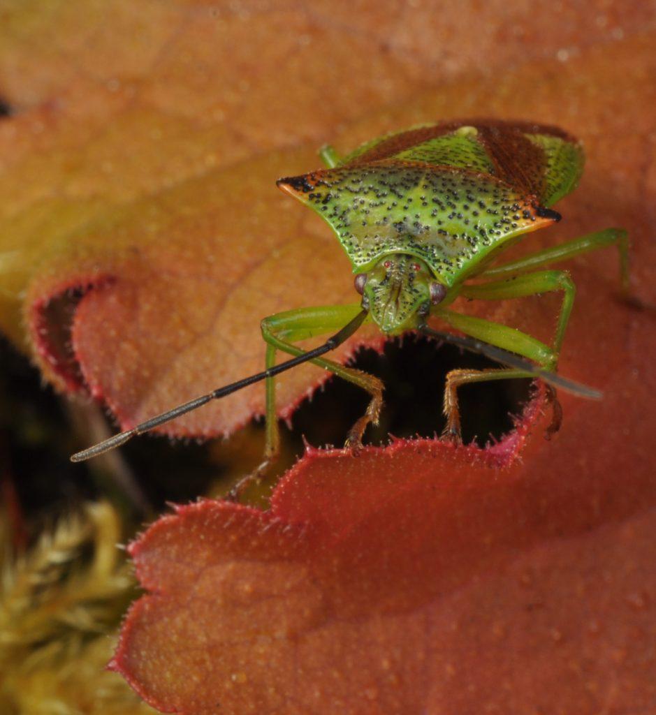 Dennis Linn - hawthorn shield bug