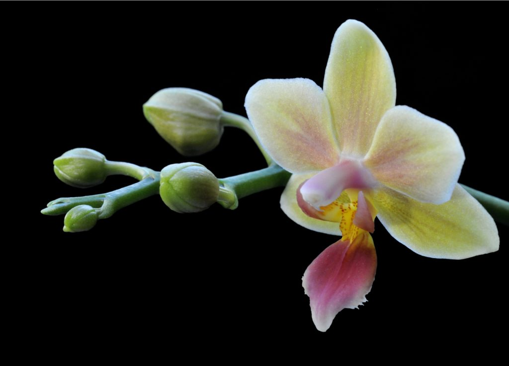 Dennis Linn - orchid