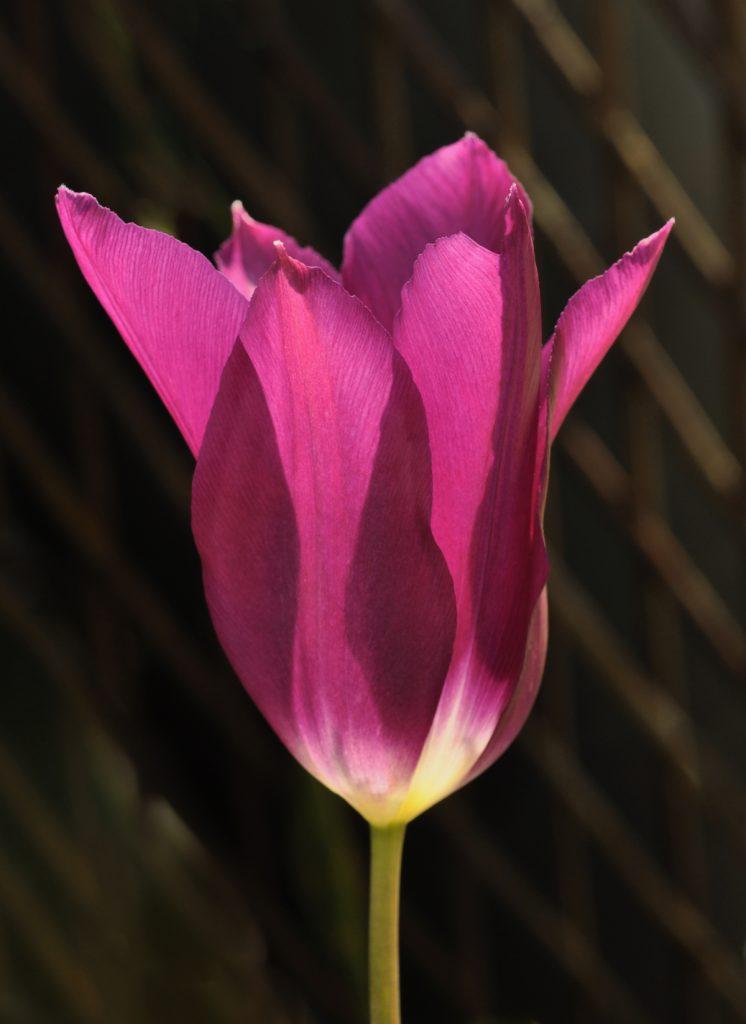 Dennis Linn - spring-tulip