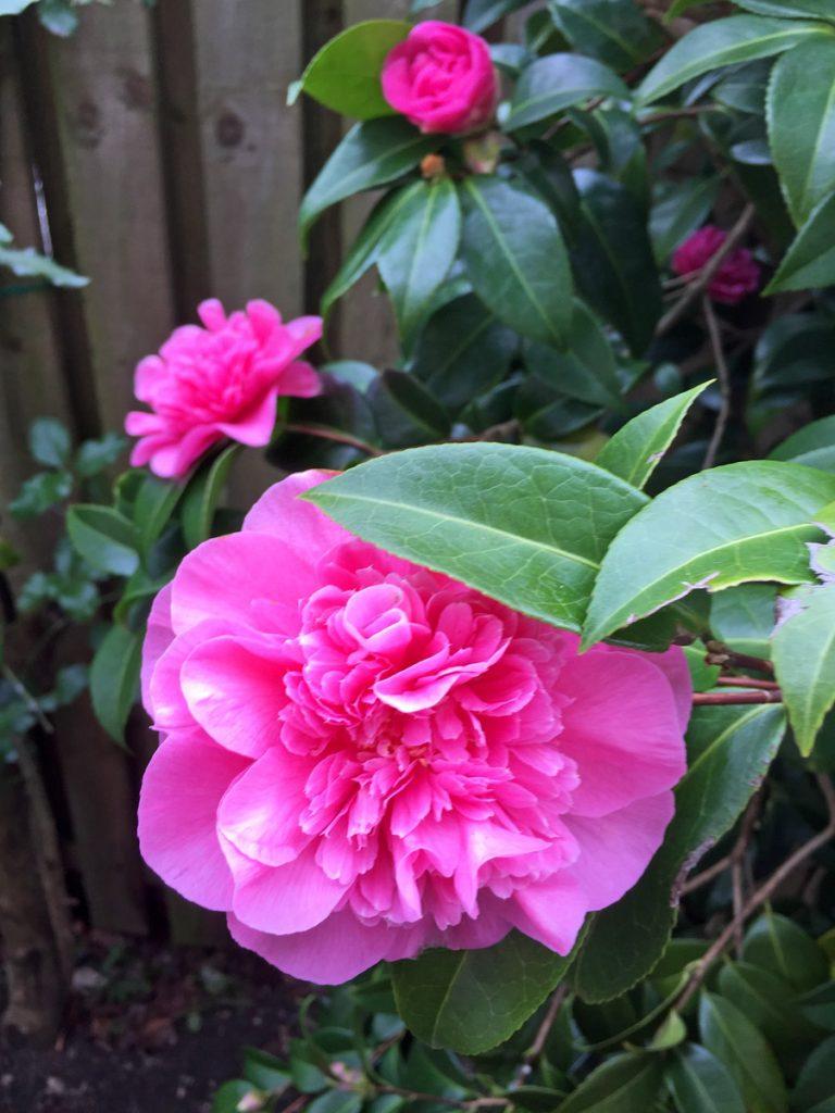 Edward Richards - Double Camellia