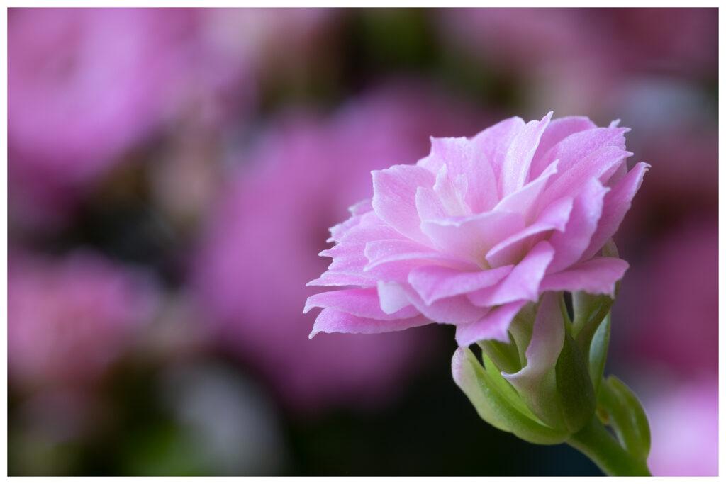 Frank Sala - Macro Flower