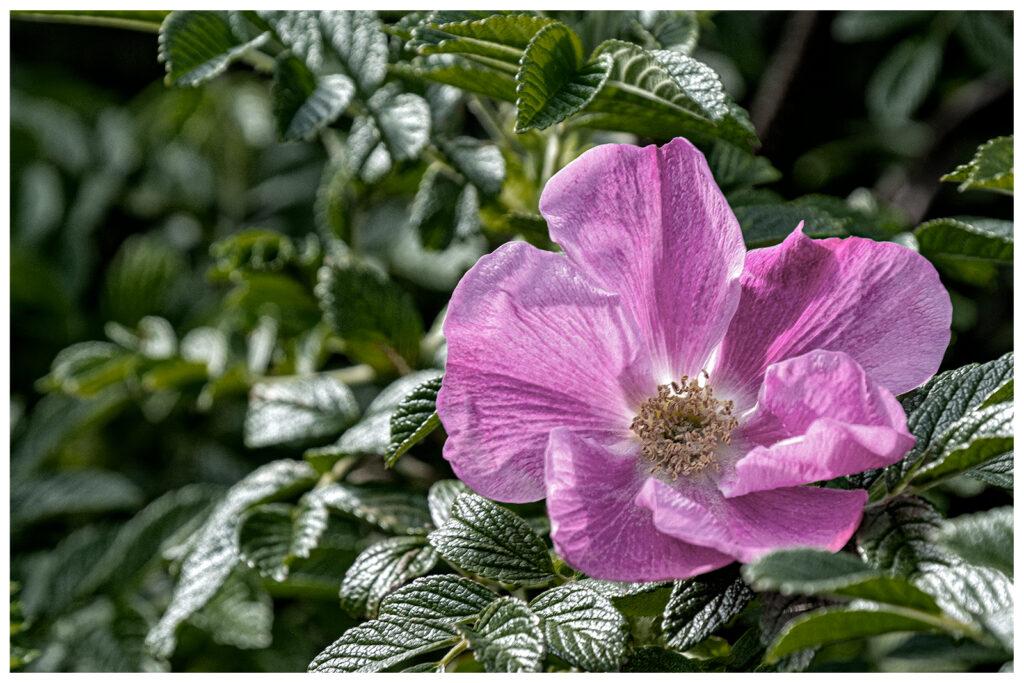 Frank Sala - Wild Rose