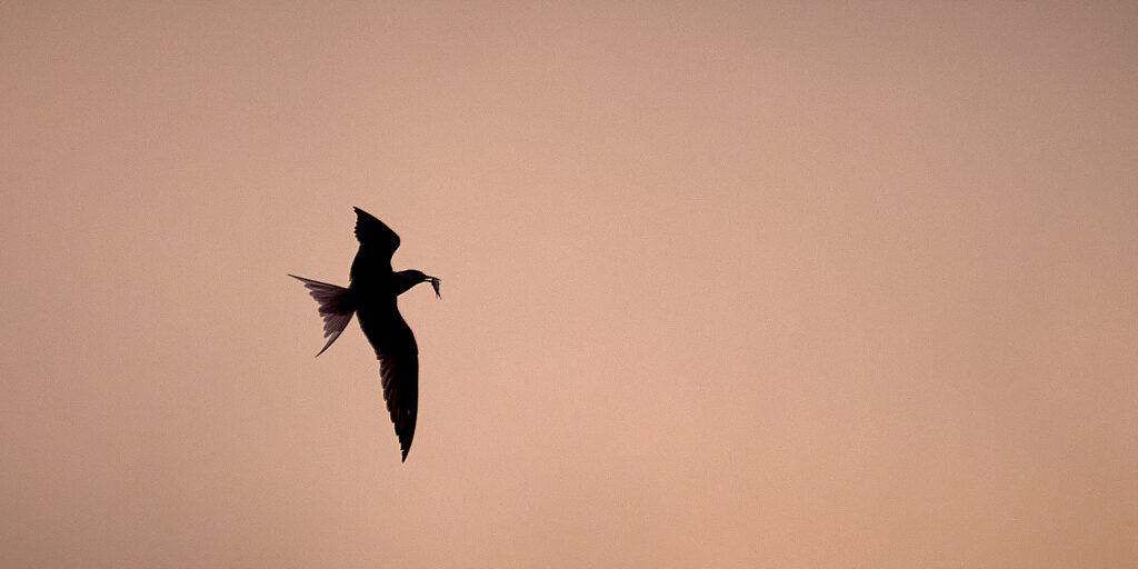 Graham-Morrice-Newhaven-Harbour-Tern-Silhouette