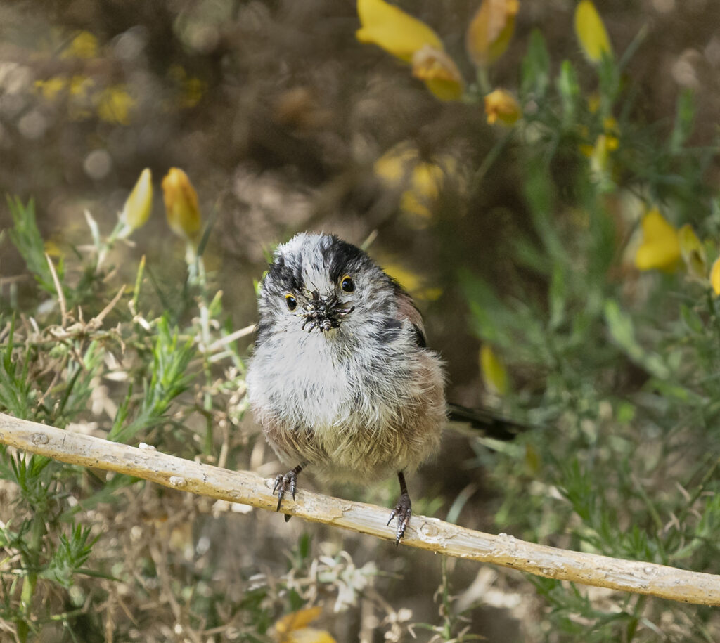 James Glass - Long Tailed Tit