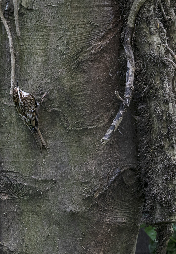 James Glass - Tree Creeper 5