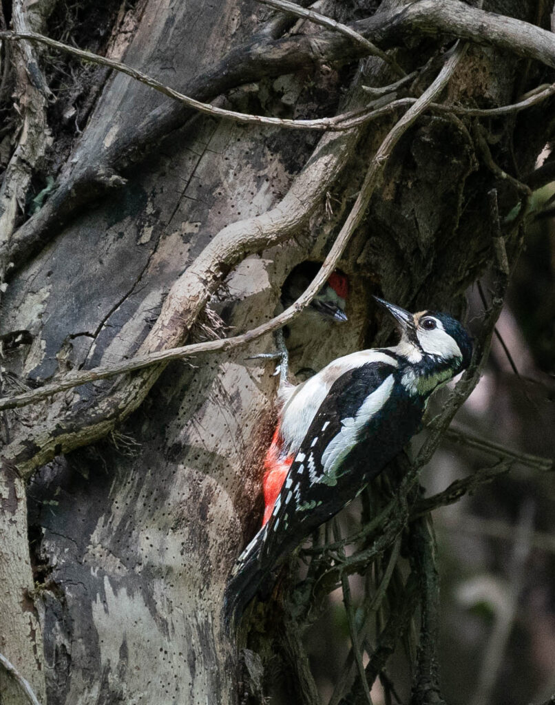 James Glass - Woodpecker and Chick 1