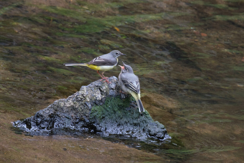 Jan Jerome - Grey Wagtail feeding