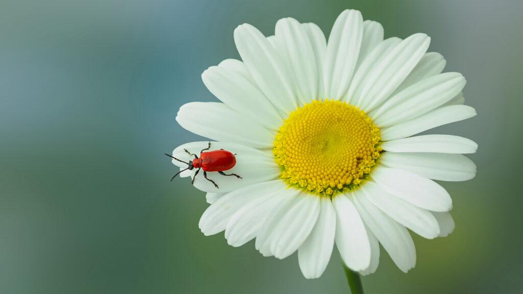 John Fotheringham - Cardinal Beetle