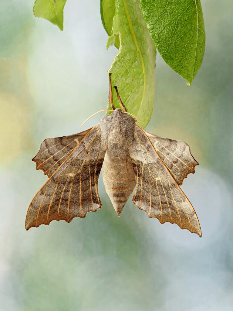 John Fotheringham - Poplar Hawk Moth