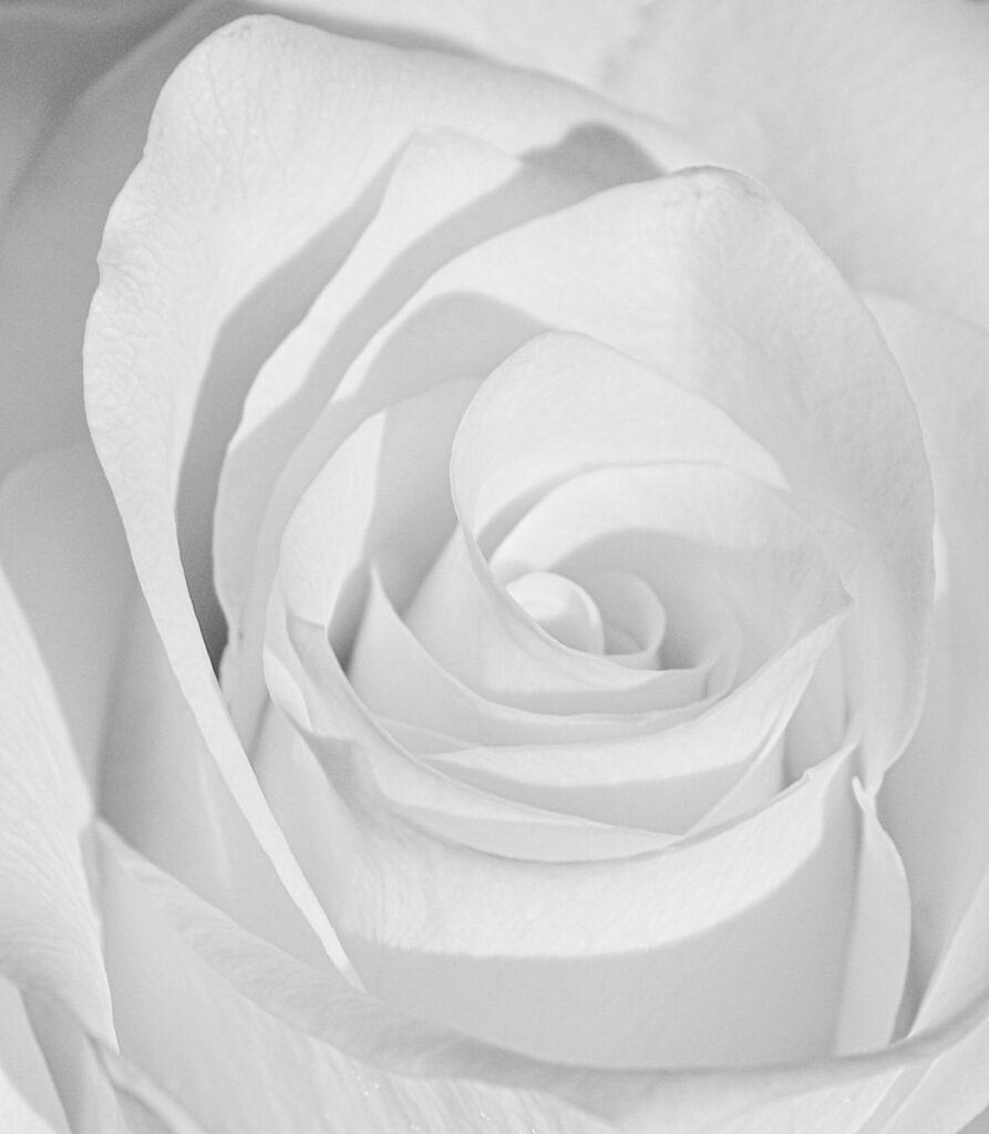 Krysia Kotowska - 3 White rose