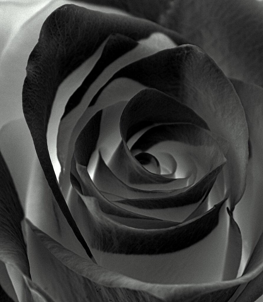 Krysia Kotowska - 4 Dark rose