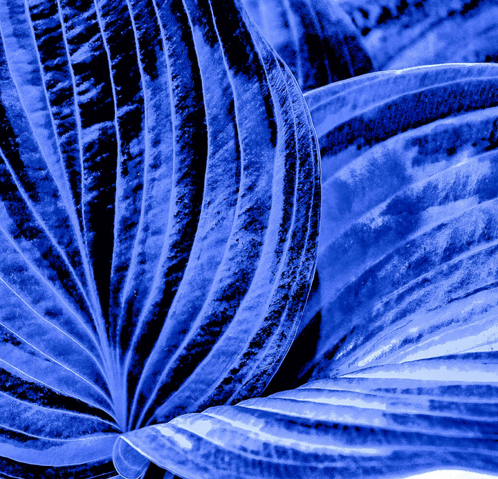 Krysia Kotowska - 9 Hosta in blue velvet