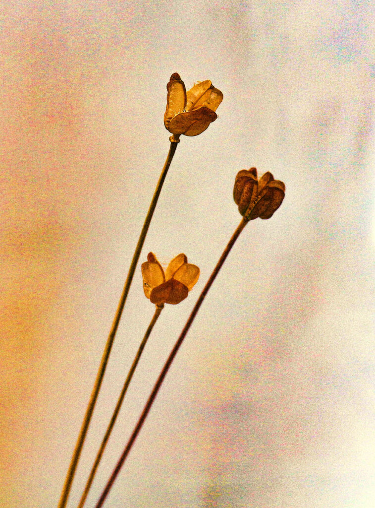 Krysia Kotowska - Three seedheads