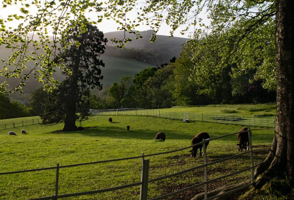 Louise Wallace - Louise Wallace-Rare breed sheep Zwartbles