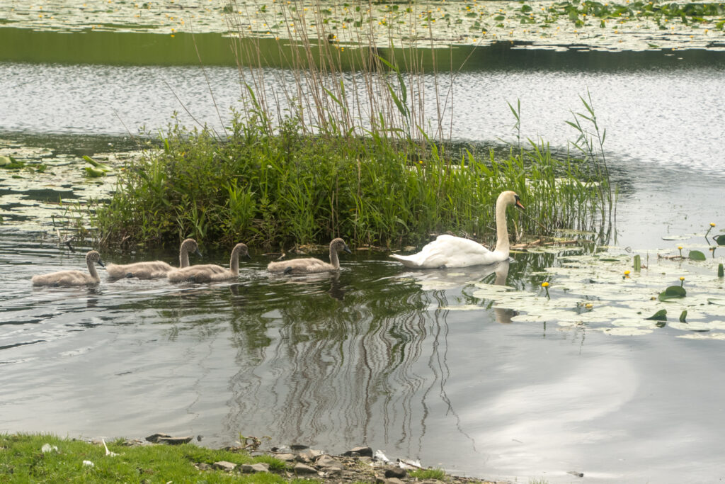 Louise Wallace - Pen and Cygnets at The Pot Loch