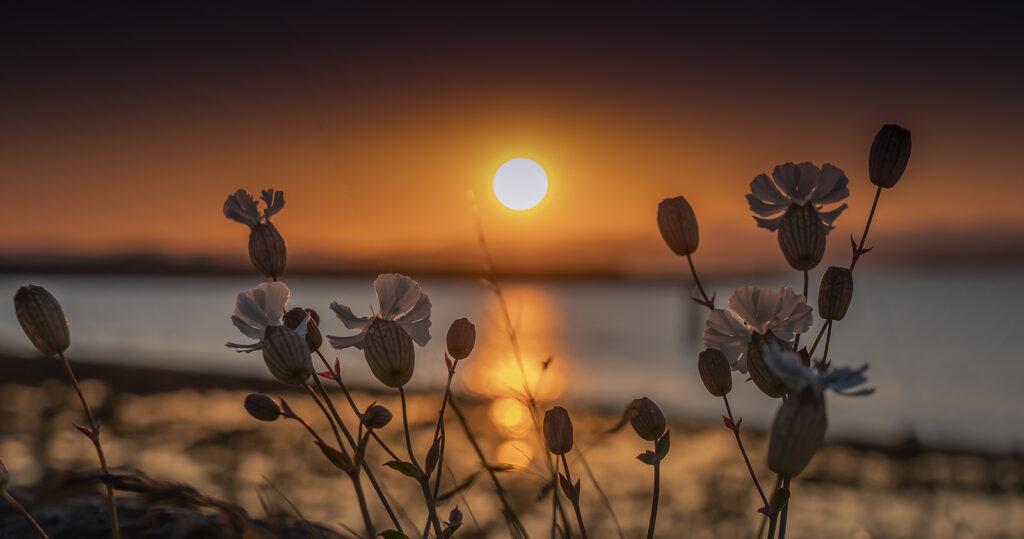Martin Ashford - Sunset through the flowers