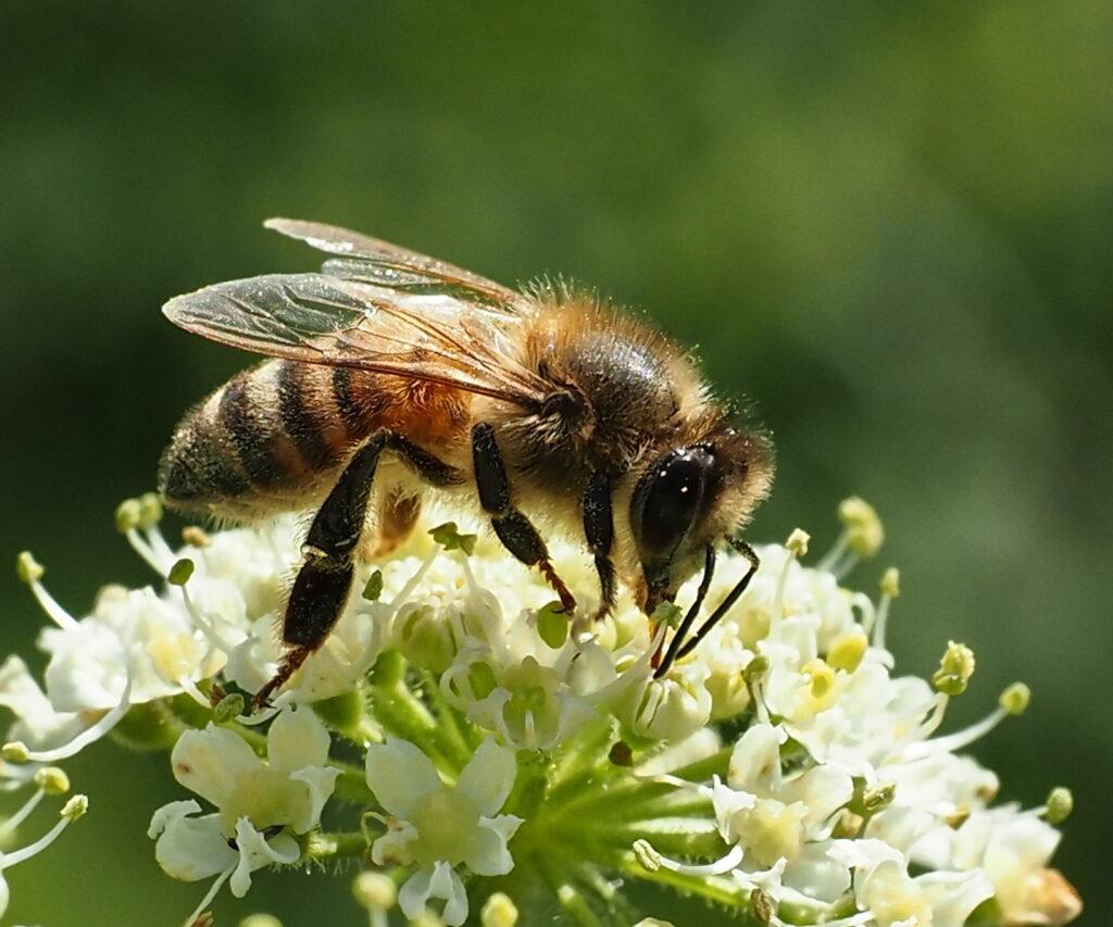 Mhairi Chambers - Honey bee at work