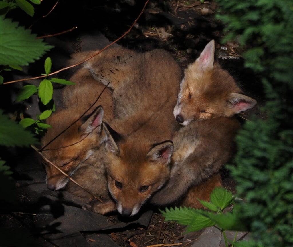 Mhairi Chambers - Trio of fox cubs V2