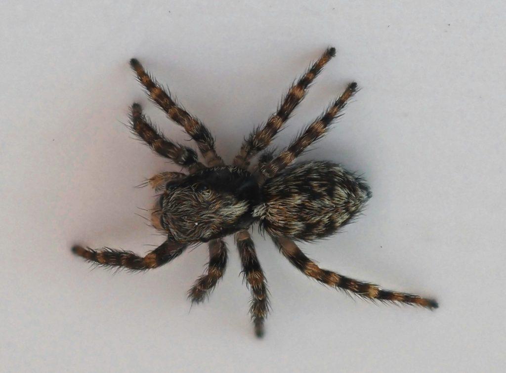 Mhairi Chambers - Zebra spider with 60mm Macro