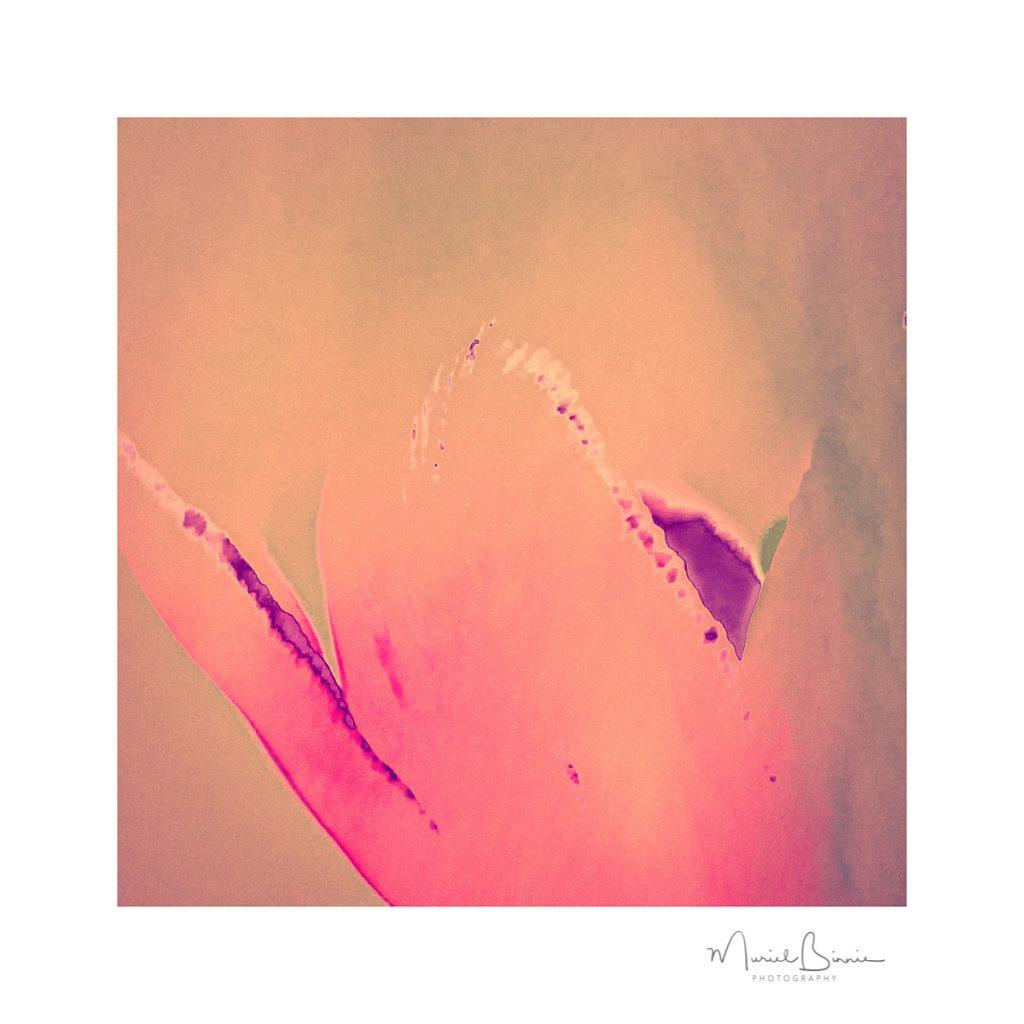 Muriel Binnie - 2 Tulip Ink