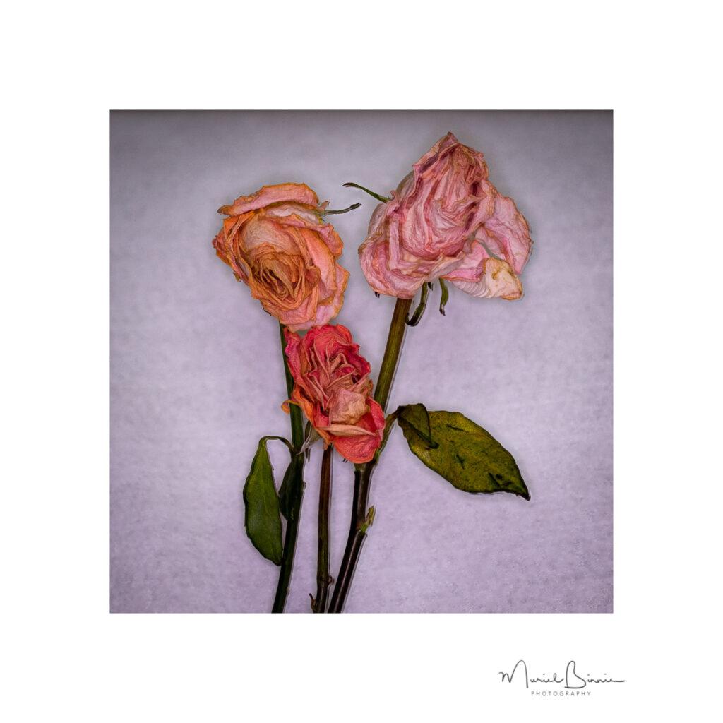 Muriel Binnie - Faded Roses