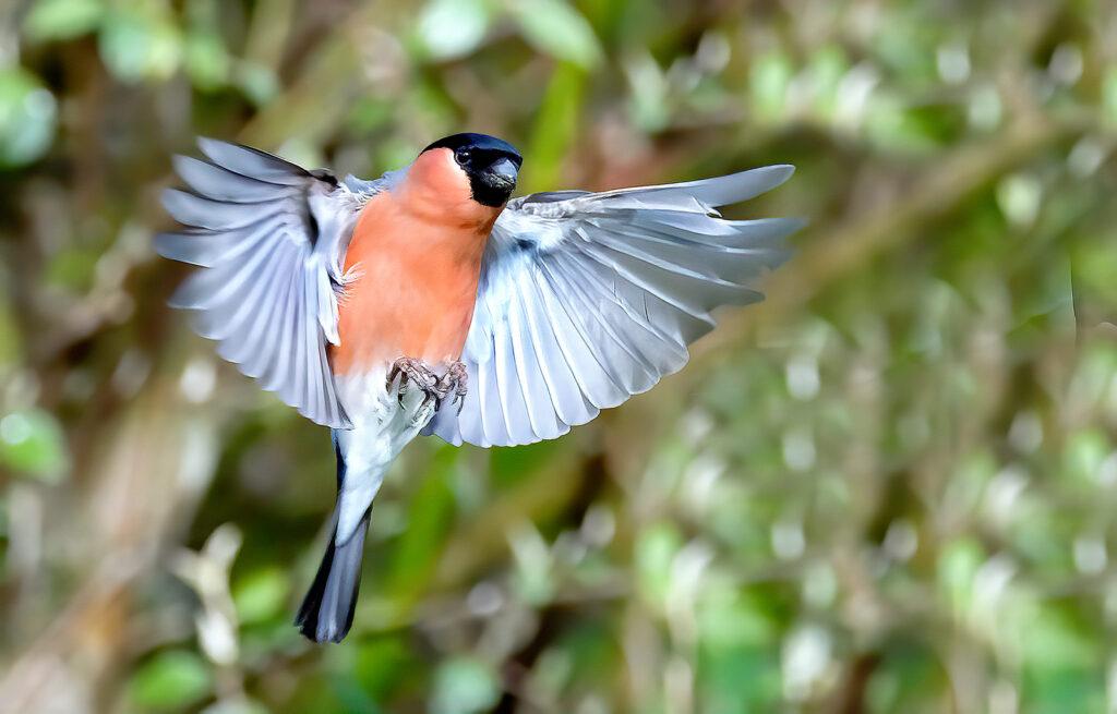 Neil Scott - bullfinch spreadwing