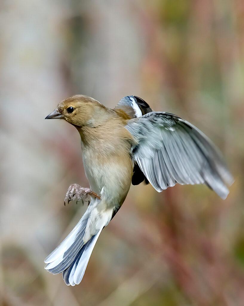 Neil Scott - chaffinch hovering