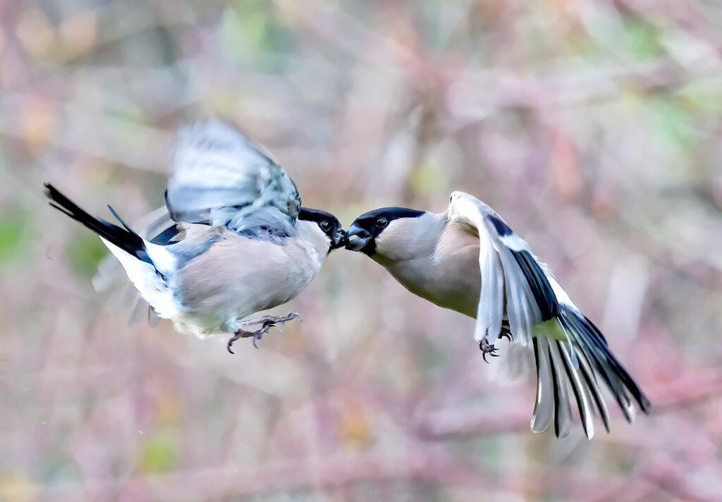 Neil Scott - fighting finches