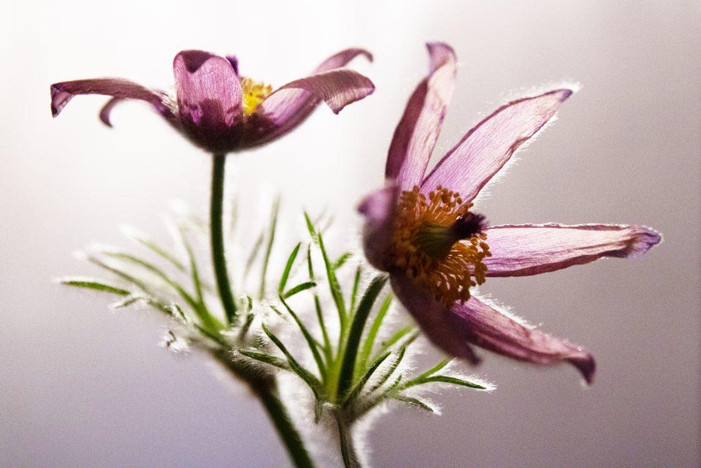 Pete Gaskin - Cut flower - high key