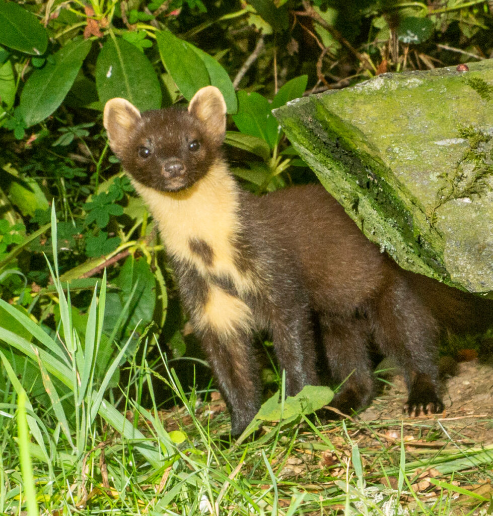 Robert Galloway - Alert Pine Marten