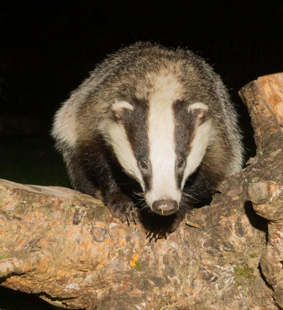 Robert Galloway - Badger climbing over log