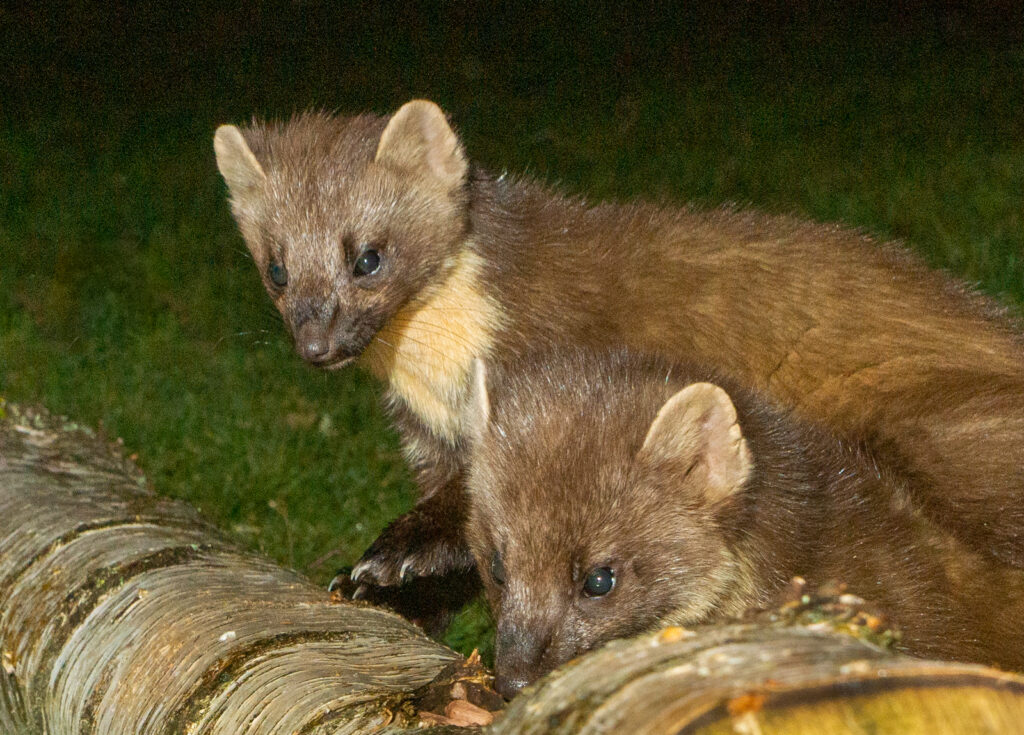 Robert Galloway - Two pine Martens