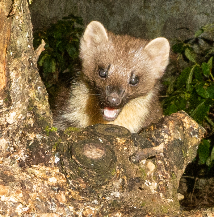 Robert Galloway - Young Pine Marten