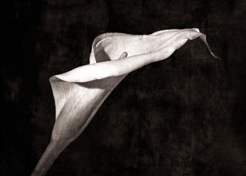 Stuart Gilliland - Calla lilly 1