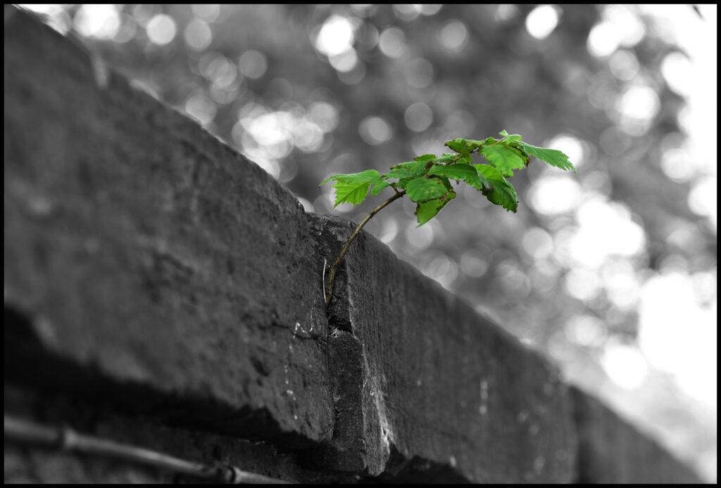 Unda McKie - 2. When nature takes over- sapling, Calton Hill